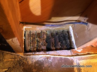 Honey bee removal from the end of floor joists... tight fit!