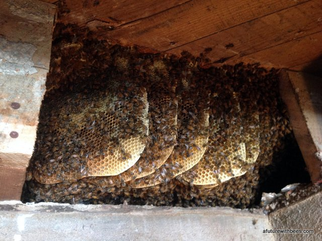 Honeybees in the floor joists
