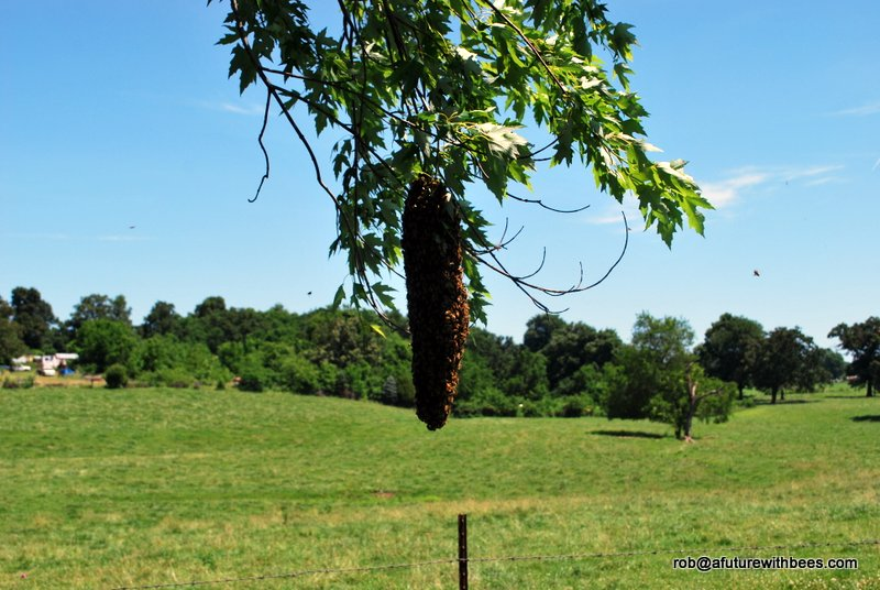 Maple tree with hangind honeybee swarm ready for capture