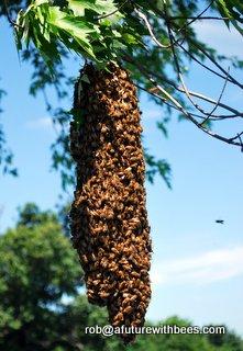 Honey bees in my tree