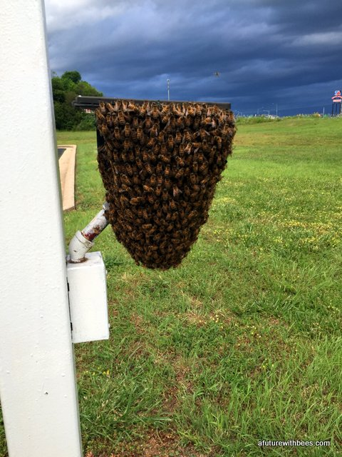 Honeybee swarm on a light at the base of a flag pole