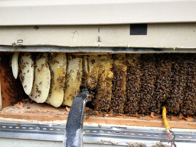 Honey bees in wall behind air conditioner